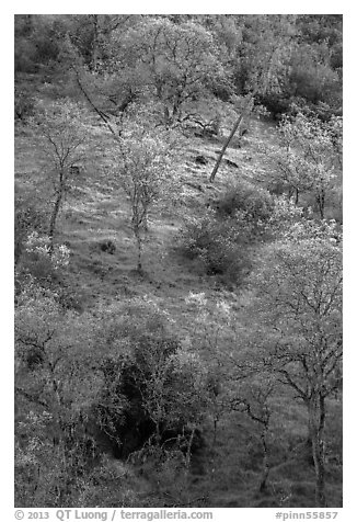 Hillside with newly leafed trees. Pinnacles National Park (black and white)