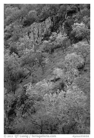 Hillside with trees and rocks in early spring. Pinnacles National Park (black and white)