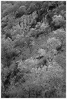Hillside with trees and rocks in early spring. Pinnacles National Park, California, USA. (black and white)