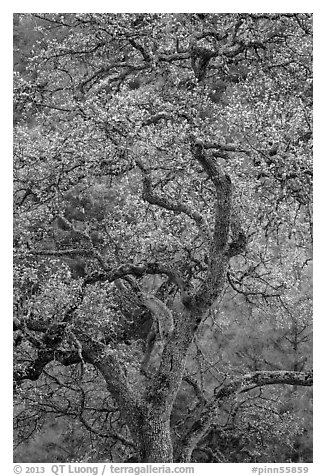 Newly leafed oak tree. Pinnacles National Park (black and white)