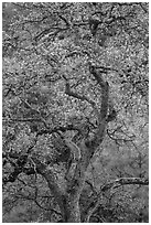 Newly leafed oak tree. Pinnacles National Park, California, USA. (black and white)