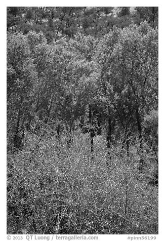 Shrubs, cottonwoods, and oaks in the spring. Pinnacles National Park (black and white)