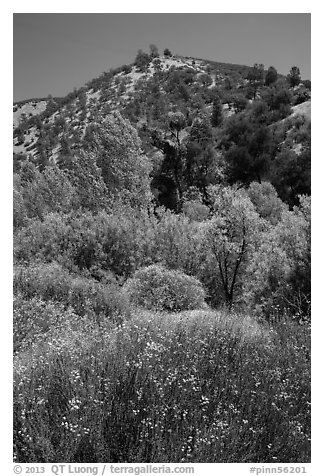 Wildflowers, trees, and hills in the hill. Pinnacles National Park (black and white)