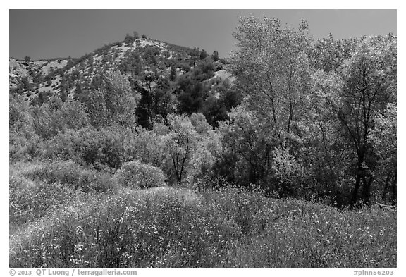Wildflowers and riparian habitat in the spring. Pinnacles National Park (black and white)