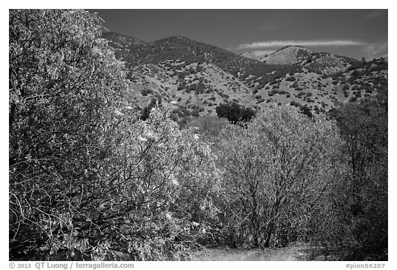 Trees with blooms and old leaves. Pinnacles National Park (black and white)