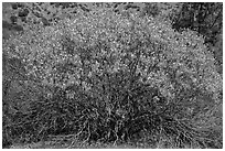 Buckeye in bloom. Pinnacles National Park ( black and white)
