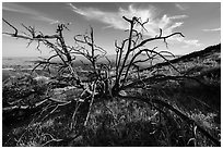 Tree skeleton near South Chalone Peak. Pinnacles National Park, California, USA. (black and white)