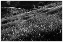 Grasses on hillside, late afternoon. Pinnacles National Park, California, USA. (black and white)