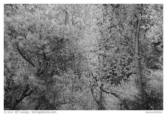 Autumn foliage along near Peaks View. Pinnacles National Park (black and white)