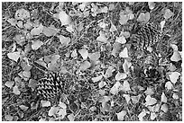 Ground view in autumn with pine cones and fallen cottonwood leaves. Pinnacles National Park ( black and white)