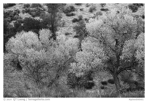 Cottonwoods in autumn at the bases of hill. Pinnacles National Park (black and white)