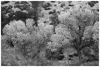 Cottonwoods in autumn at the bases of hill. Pinnacles National Park ( black and white)