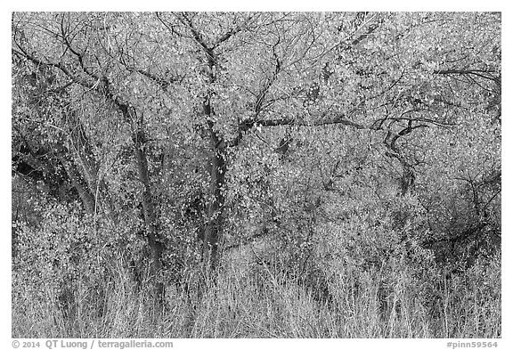 Cottonwoods in fall colors along Chalone Creek. Pinnacles National Park (black and white)