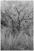 Shrubs and cottonwoods in autumn. Pinnacles National Park ( black and white)