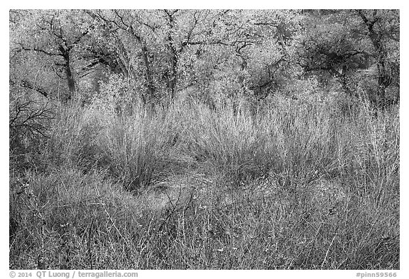 Shrubs and trees in autumn. Pinnacles National Park (black and white)