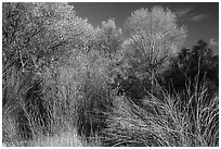 Shrubs and trees in autumn against blue sky, Bear Valley. Pinnacles National Park ( black and white)