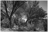 Group of cottonwoods trees in autumn. Pinnacles National Park ( black and white)