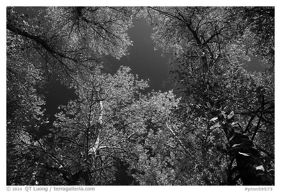 Looking up trees in autumn foliage. Pinnacles National Park (black and white)