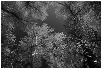 Looking up trees in autumn foliage. Pinnacles National Park ( black and white)