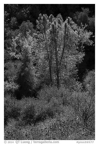 Fall foliage along Bear Gulch. Pinnacles National Park (black and white)