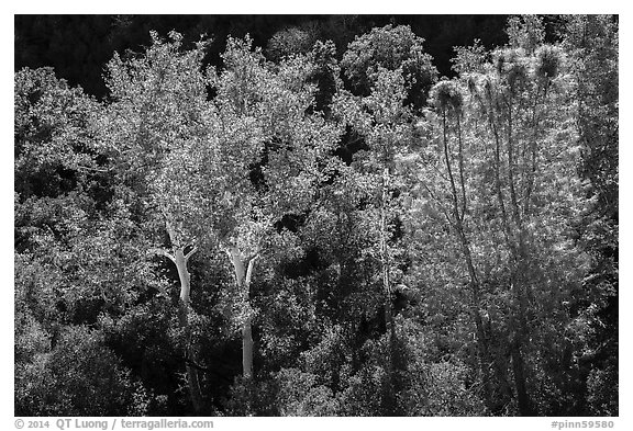 Sycamores and evergreens in autumn along Bear Gulch. Pinnacles National Park (black and white)