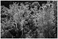 Sycamores and evergreens in autumn along Bear Gulch. Pinnacles National Park ( black and white)