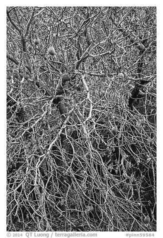 Close-up of Buckeye bare branches in autumn. Pinnacles National Park (black and white)