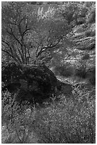 Rock and autumn foliage color along Chalone Creek. Pinnacles National Park ( black and white)