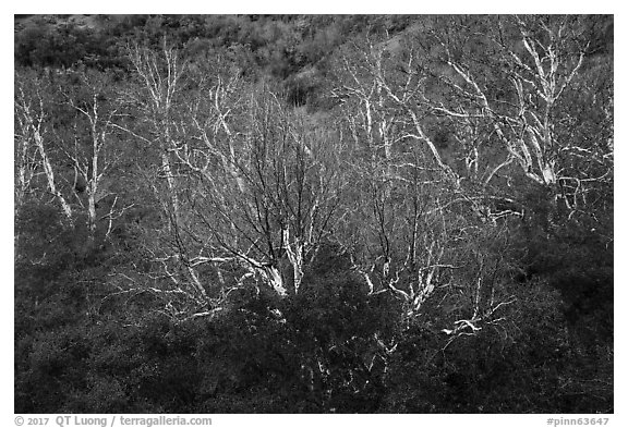 Sycamores in winter, Bear Gulch. Pinnacles National Park (black and white)