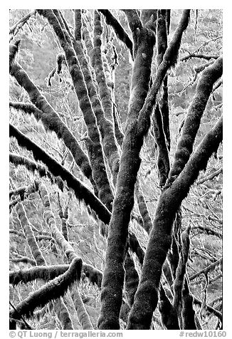 Moss-covered branches. Redwood National Park (black and white)