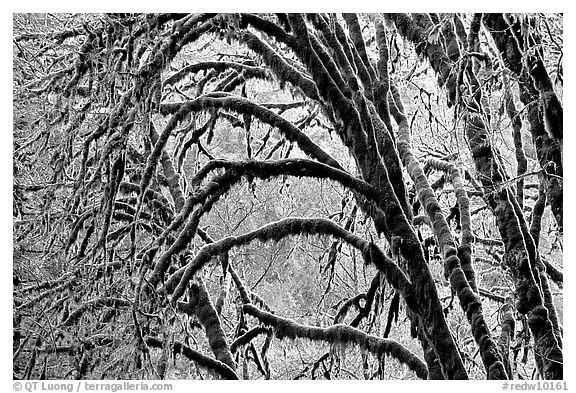 Moss-covered arching tree. Redwood National Park (black and white)