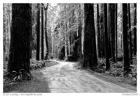 Back rood amongst redwood trees, Howland Hill, Jedediah Smith Redwoods State Park. Redwood National Park (black and white)