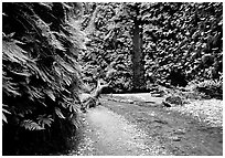 Fern Canyon with Fern-covered walls. Redwood National Park, California, USA. (black and white)