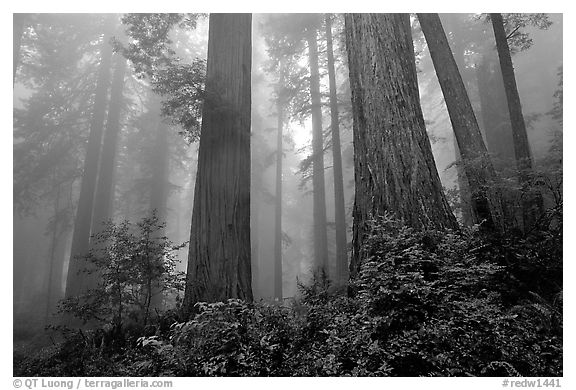 Looking up tall coast redwoods (Sequoia sempervirens) in fog, Del Norte Redwoods State Park. Redwood National Park (black and white)
