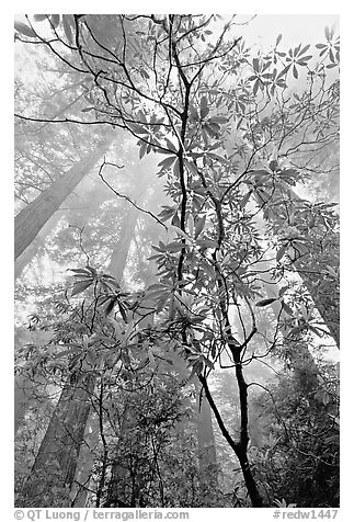 Looking upwards redwood forest in fog through rododendrons, Del Norte Redwoods State Park. Redwood National Park (black and white)