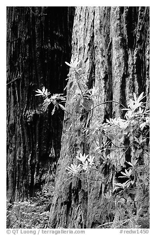 Redwood trunk and rododendron. Redwood National Park (black and white)