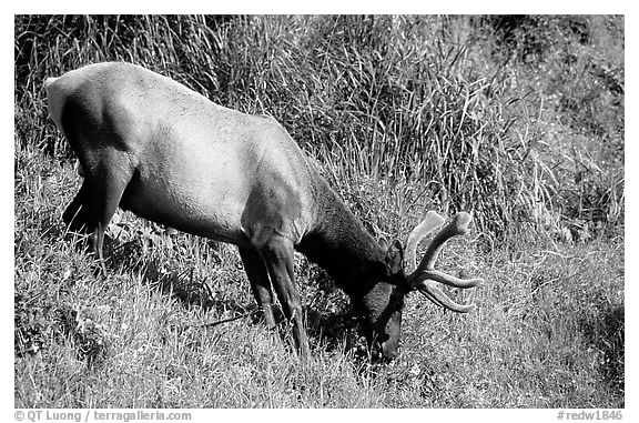 Roosevelt Elk,  Prairie Creek Redwoods State Park. Redwood National Park (black and white)