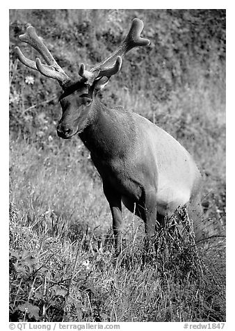Roosevelt Elk near Gold Bluffs, Prairie Creek Redwoods State Park. Redwood National Park (black and white)