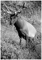 Roosevelt Elk, Prairie Creek. Redwood National Park, California, USA. (black and white)