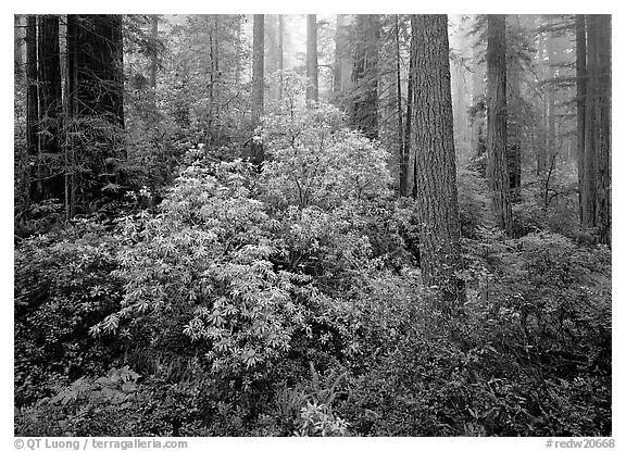 Rododendrons in bloom in redwood grove, Del Norte Redwoods State Park. Redwood National Park (black and white)