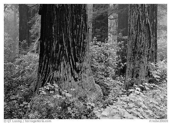 Redwood trunks in fog. Redwood National Park (black and white)