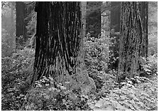 Redwood (scientific name: sequoia sempervirens) trunks in fog. Redwood National Park, California, USA. (black and white)