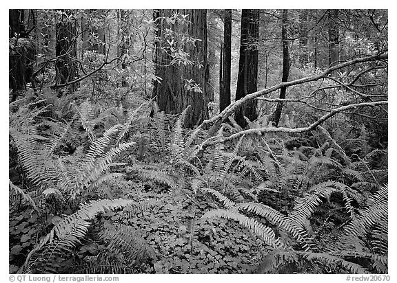 Ferms and trees in  spring, Del Norte Redwoods State Park. Redwood National Park (black and white)