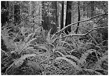 Ferms and trees in  spring, Del Norte. Redwood National Park, California, USA. (black and white)