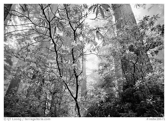 Looking up forest with fog and rododendrons, Del Norte Redwoods State Park. Redwood National Park (black and white)