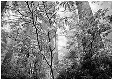 Looking up forest with fog and rododendrons. Redwood National Park, California, USA. (black and white)