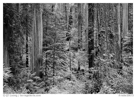 Old-growth redwood forest, Howland Hill, Jedediah Smith Redwoods State Park. Redwood National Park (black and white)