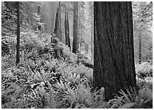 Ferns and trunks, foggy forest, Del Norte. Redwood National Park, California, USA. (black and white)