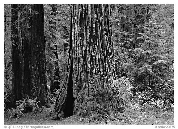 Base of gigantic redwood trees (Sequoia sempervirens), Prairie Creek Redwoods State Park. Redwood National Park (black and white)