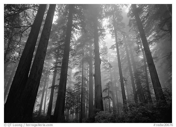 Tall redwood trees in fog, Lady Bird Johnson grove. Redwood National Park (black and white)